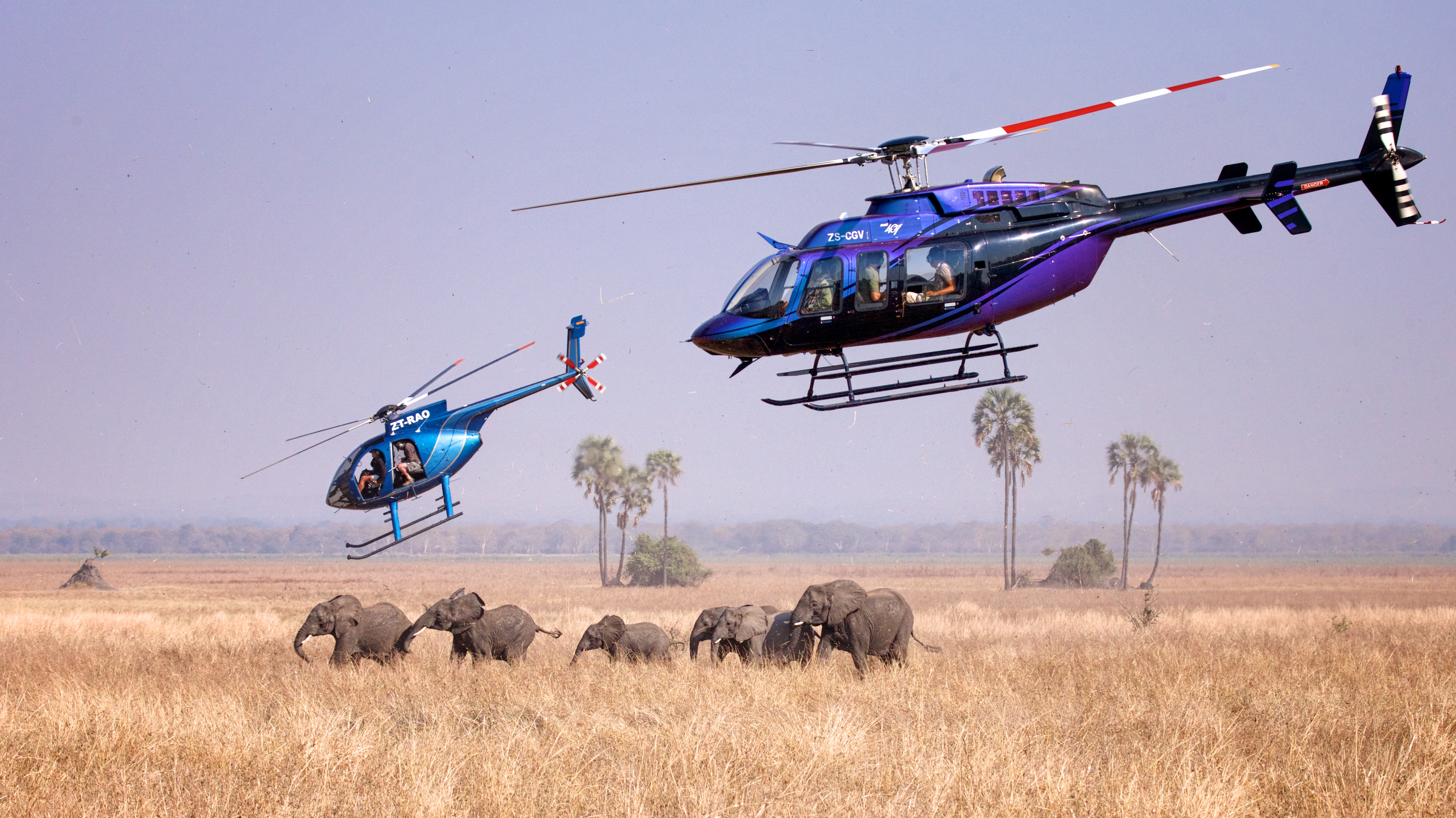 A family group of elephants is darted from the air. Photo by Frank Weitzer.