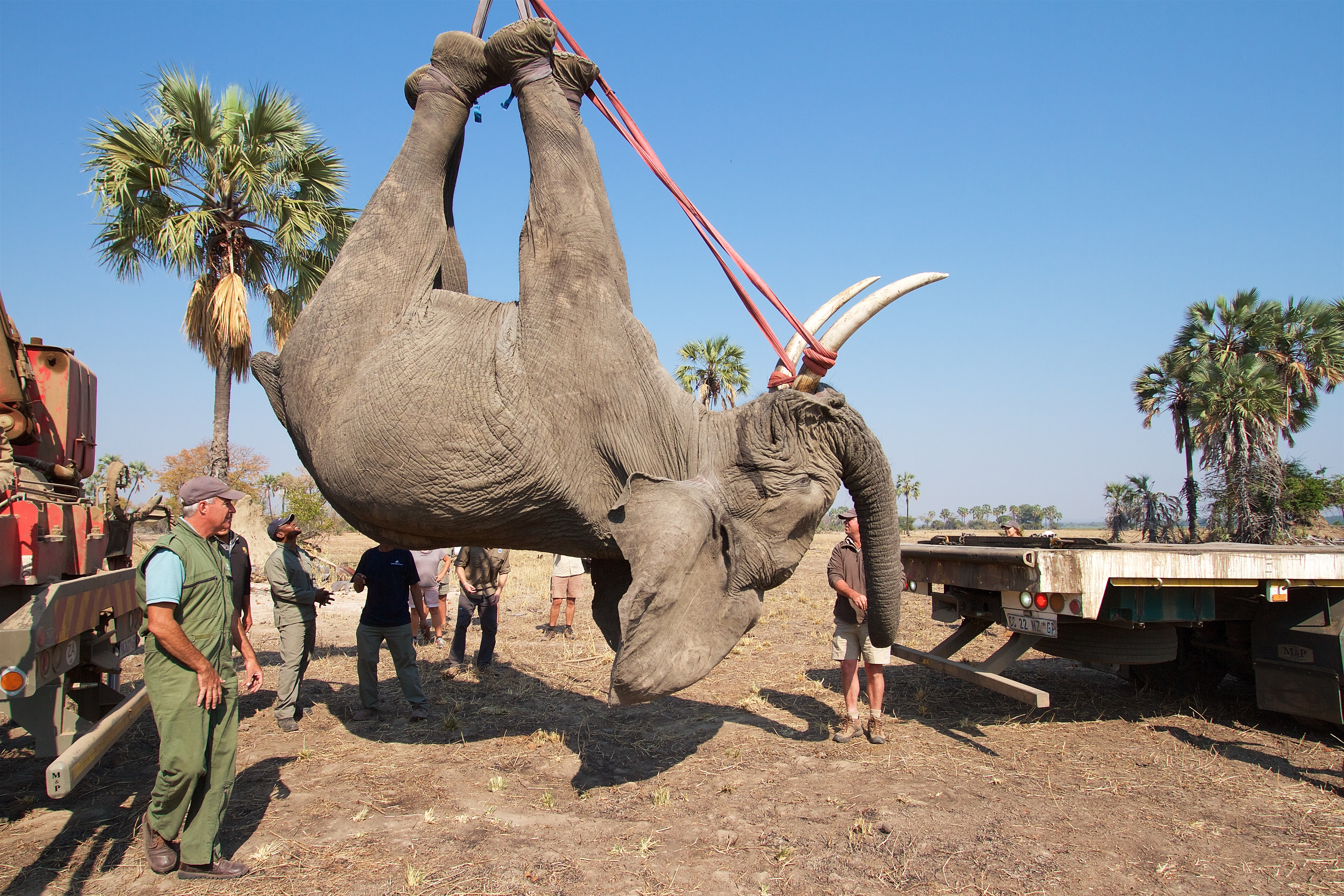 An elephant is lifted by crane to be weighed and transported to the wake up crate. Photo by Frank Weitzer.