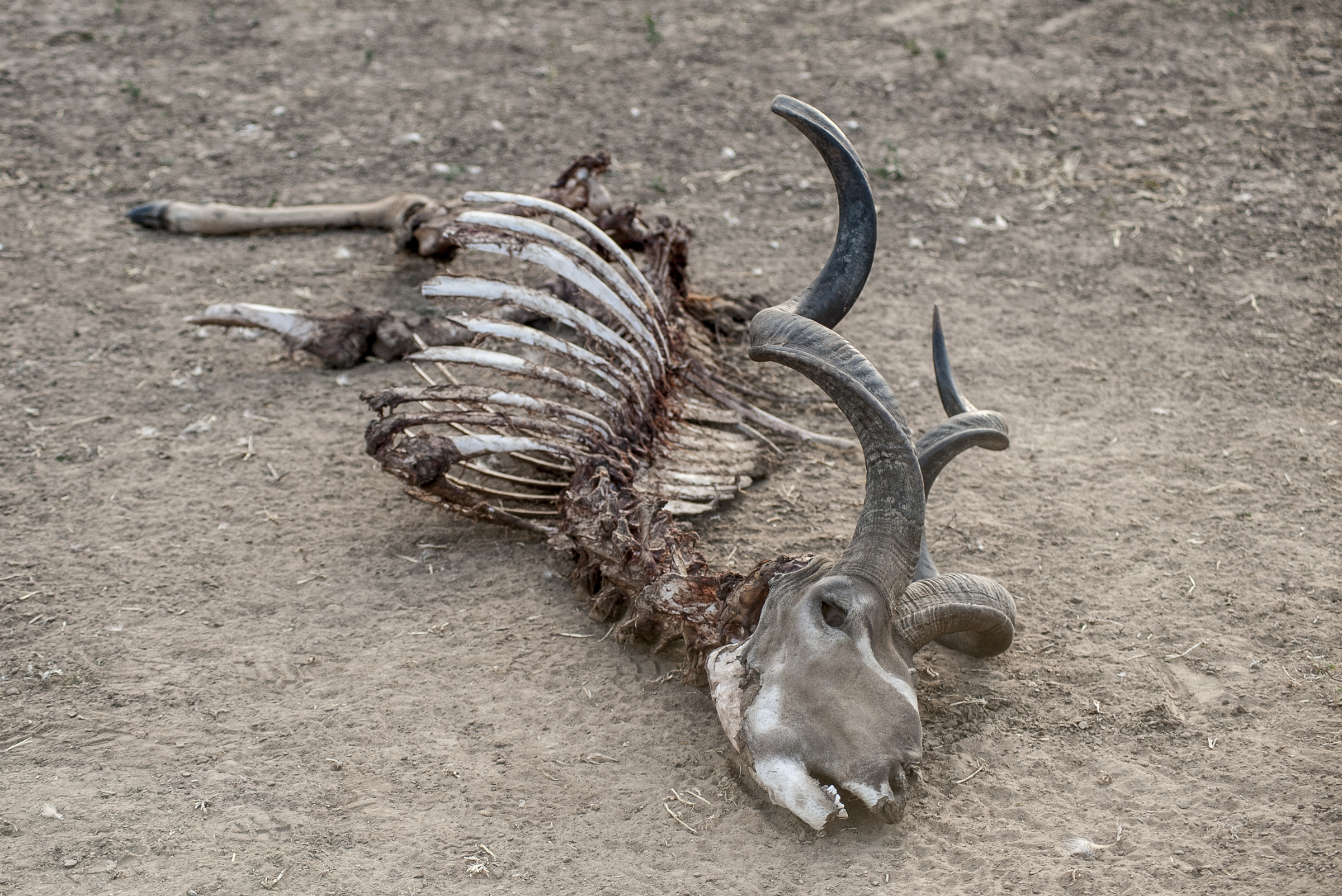A kudu carcass picked clean, photo by Anton Crone