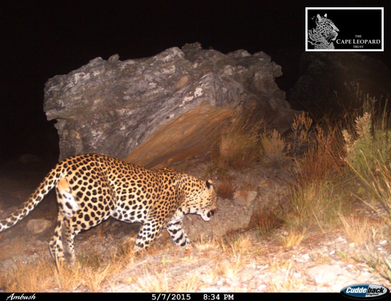 Photo by Cape Leopard Trust