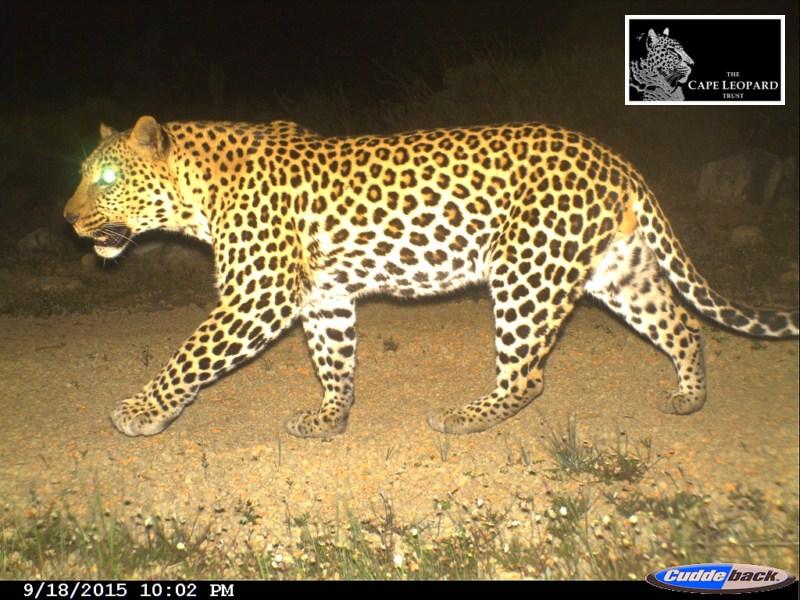 [Photos: Cape Leopard Trust]