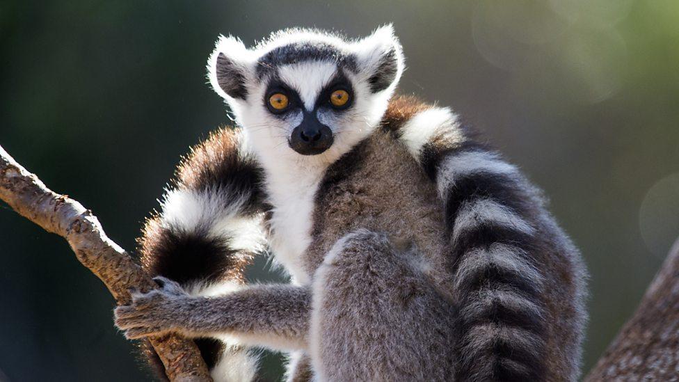 Ringtailed lemur, Madagascar