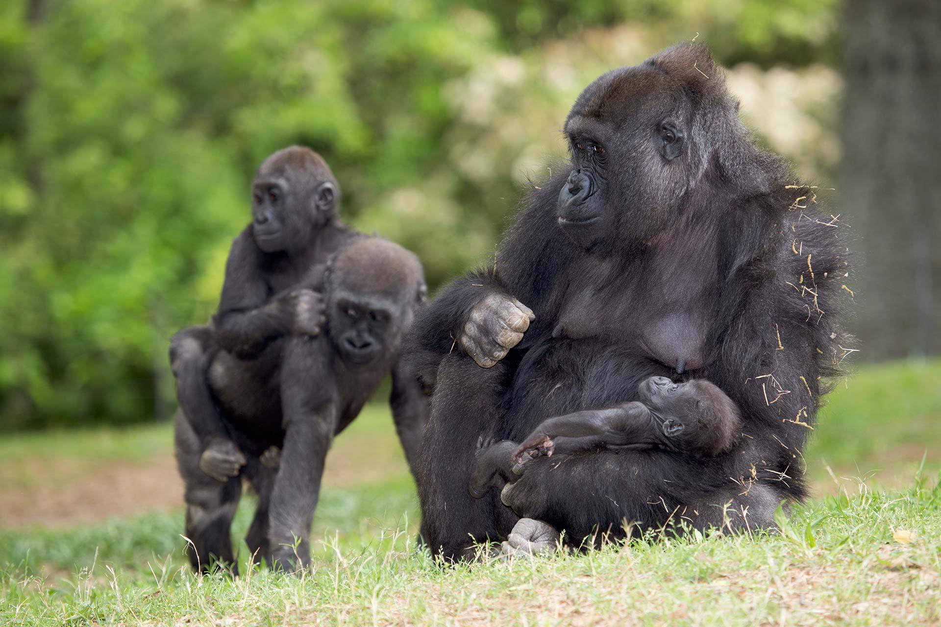 Western highland gorillas