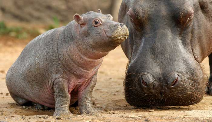 Baby hippo – via Fact Fiend