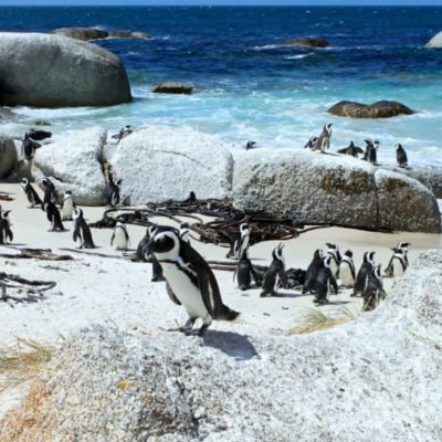Penguins on Boulders Beach – photos are via Explore Sideways