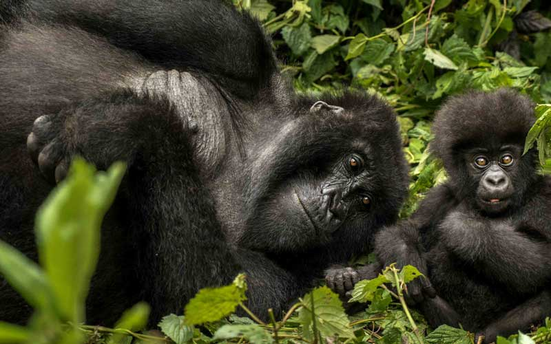 "Gorilla's Nest – photos are courtesy of <a href=""https://www.oneandonlyresorts.com/one-and-only-gorillas-nest-rwanda"" target=""_blank"" rel=""noopener"">One&amp;Only Resorts</a>"