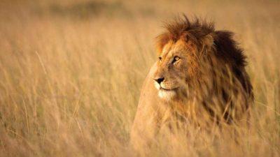 Lion strutting his stuff in Kruger National Park –via andBeyond