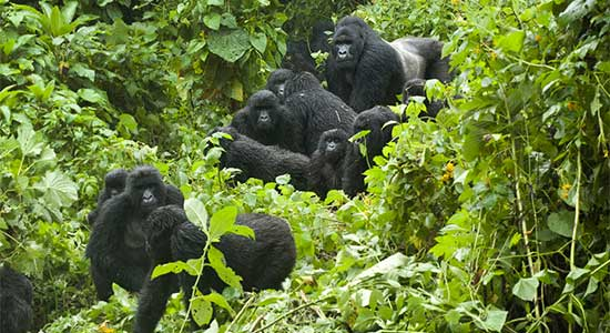 Mountain gorillas in the Virunga Massif –courtesy of 2015 Gorilla Doctors